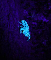 Scorpion under black light