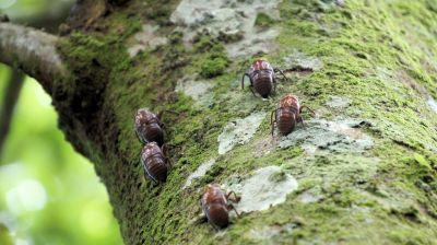 Molted cicada exoskeletons