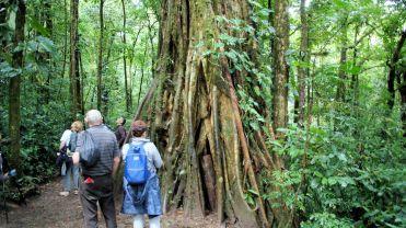 Admiring a ficus tree
