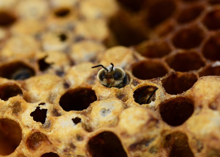 honey-bees-335906_1280