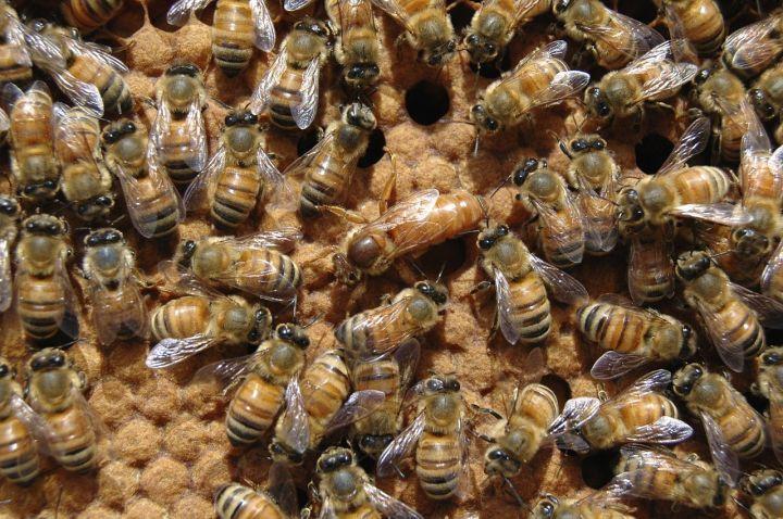 Queen bee1