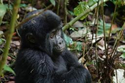 Gorillas: In the Midst of Destruction
