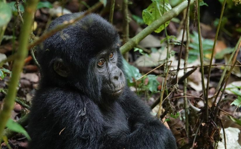 Gorillas: In the Midst ofDestruction