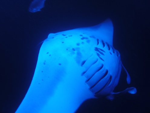 Ventral side of a manta during a back flip